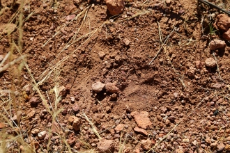 A footprint of a fox is found in the trail during a hike in Coronado National Forest. Animals can easily be tracked through the loose soil, if you know what to look for. (Photo by Kyle Wasson)