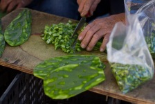 A group of men remove the prickly thorns and chop nopales near the U.S.-Mexico Border in Nogales, Sonora on Wednesday Nov. 15, 2013. The cactus pads can be cooked a variety of ways for a tasty snack or meal.(Photograph by Mariana Dale)